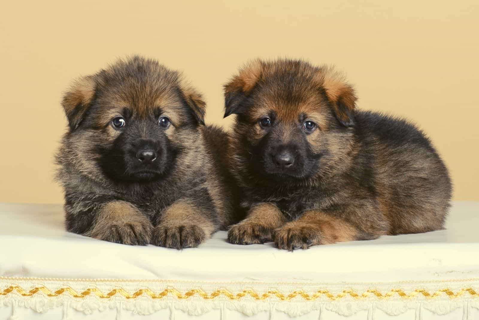 Two sable puppies german shepherd lying next to each other