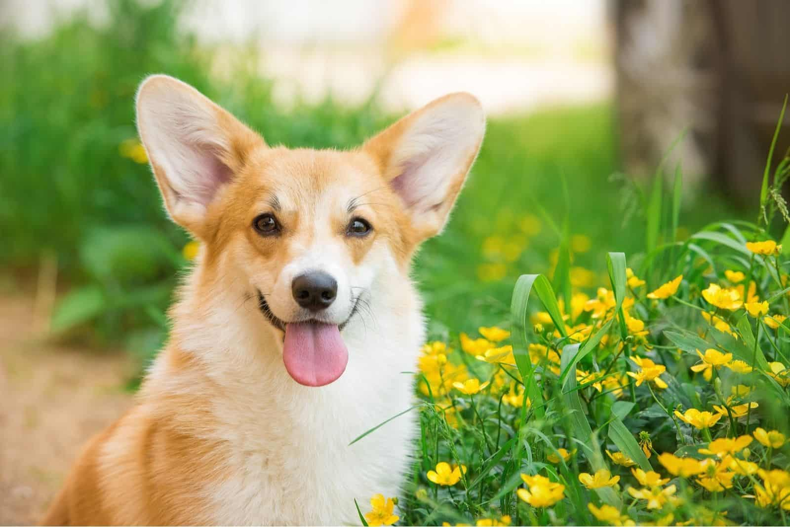 Welsh corgi pembroke portrait with tongue out and yellow flowers