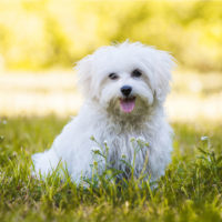 Young maltese dog in a meadow