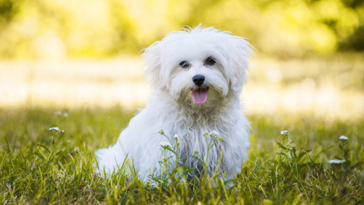 "White Dog Names: Unique Ideas, All Better Than ""Snowflake"""