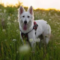 snowy white german shepherd dog standing in the middle of the meadows