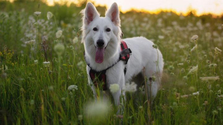 White German Shepherd: A Complete Guide To This Snowy Wonder!