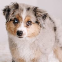 a cute toy dog aussie standing on top of the bed