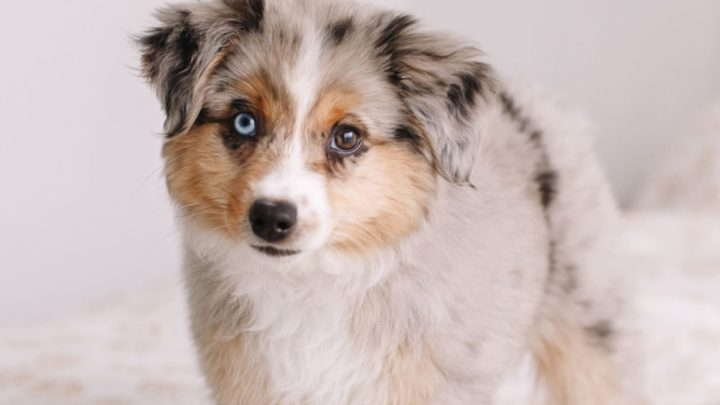 Corgipoo: Is This The Sweetest Family Dog Ever?
