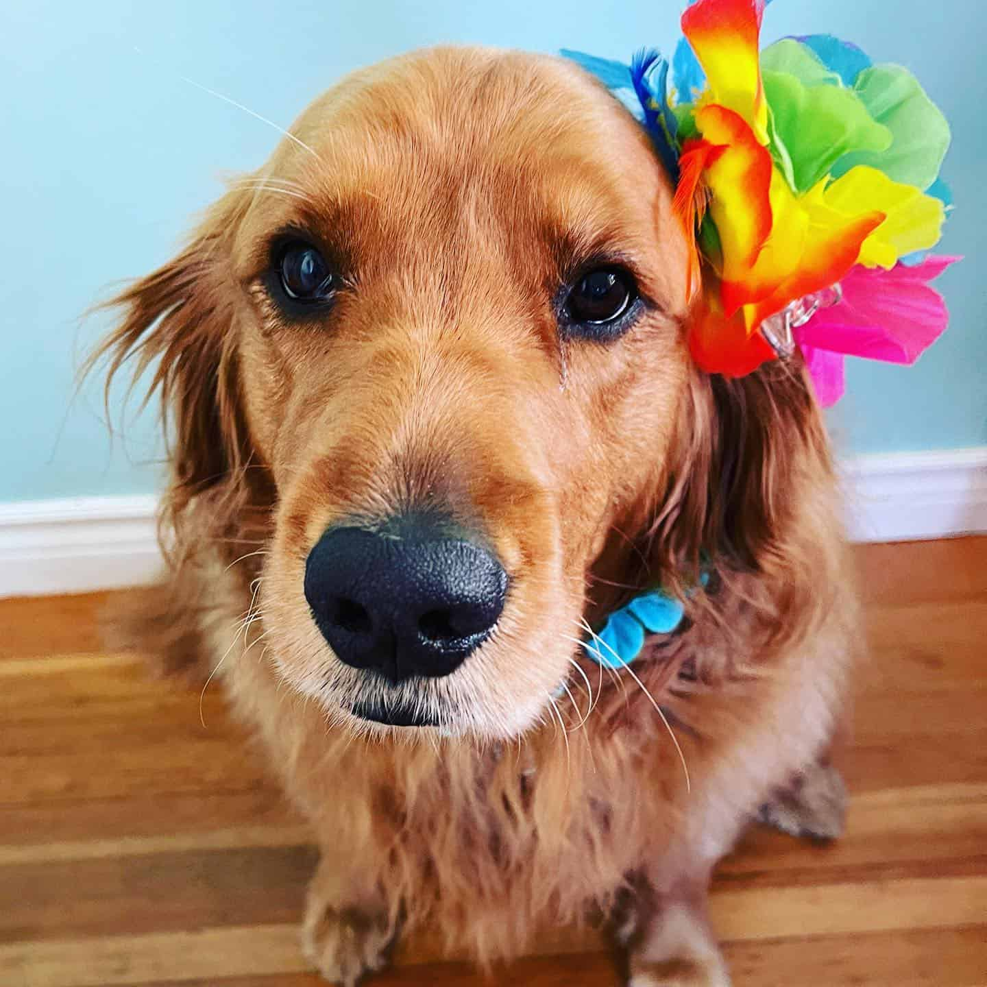 adorable golden retriever with colorful flower