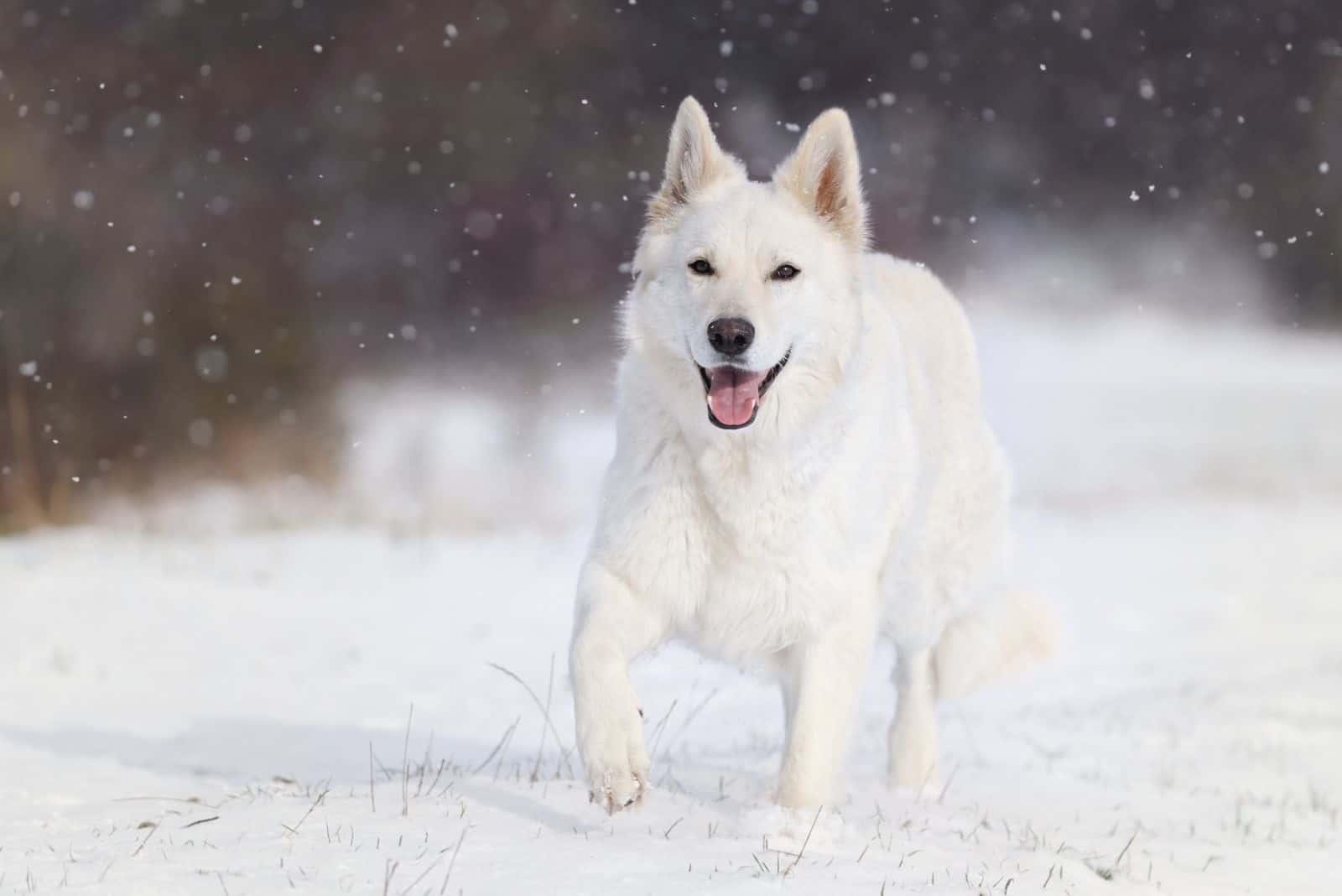 adorable white german shepherd dog running in the snow