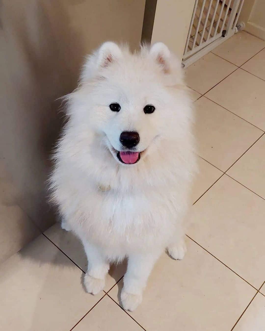 adorable white samoyed dog sitting on the floor