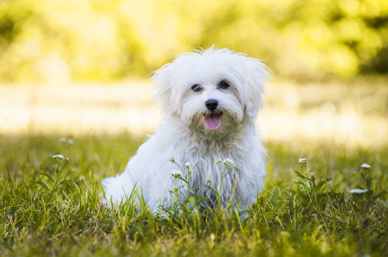 adult maltese in grass