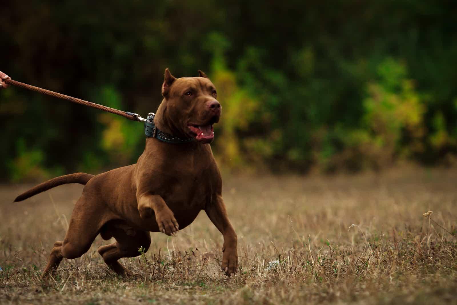 adult pitbull on a leash