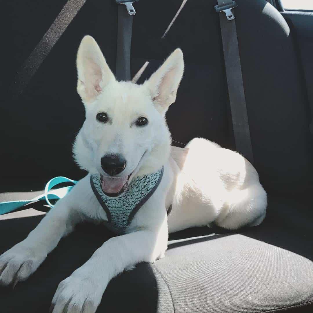 albino german shepherd do sitting in the car