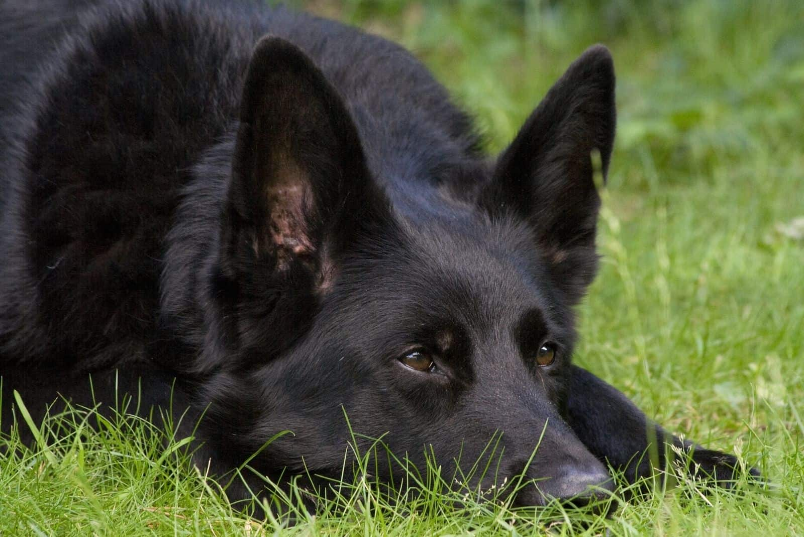 alert black German Shepherd dog laid on some grass with his eyes pricked up listening