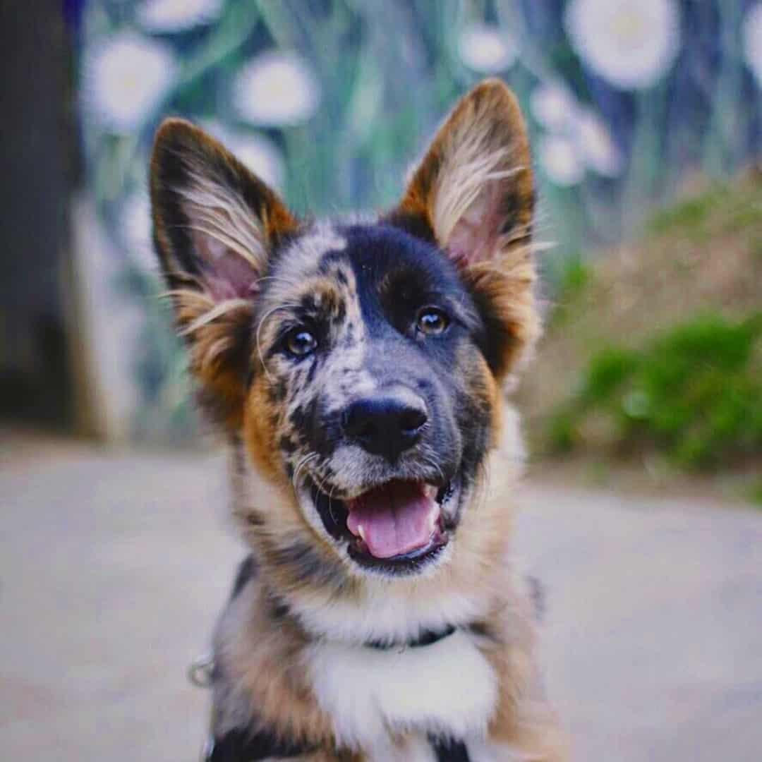 aussie german sheepdog in a headshot