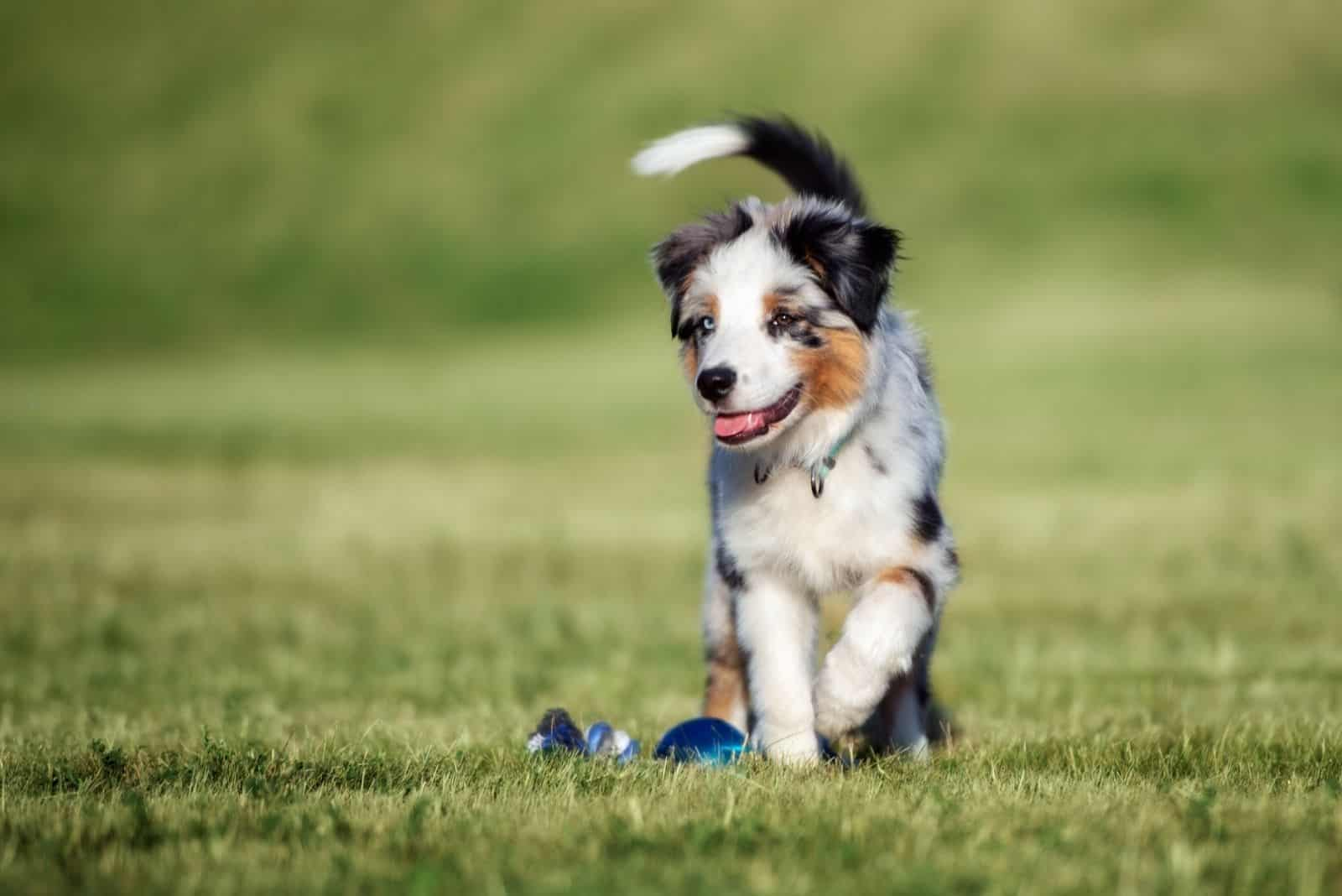 aussie shepherd toy puppy playing outdoors