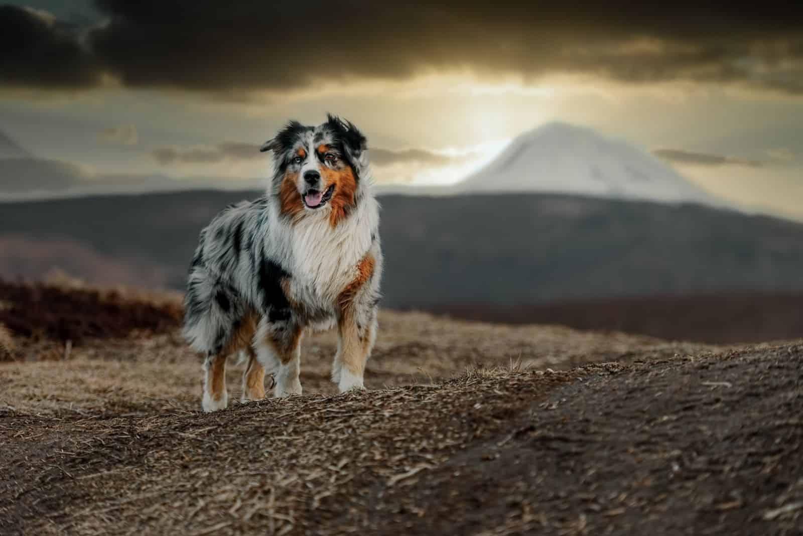 australian shepherd dog on the background of the sunset in autumn