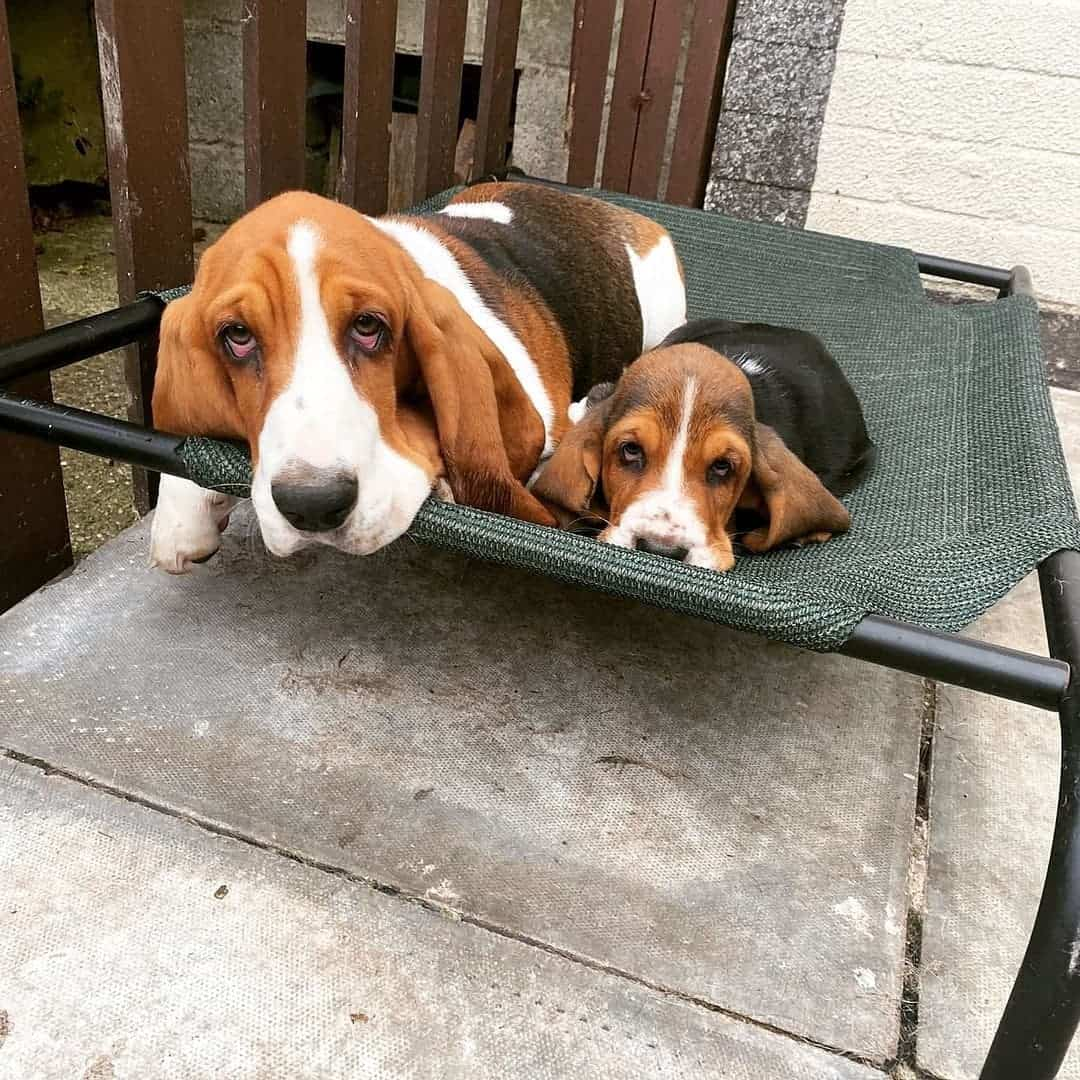 basset hound and its puppy resting