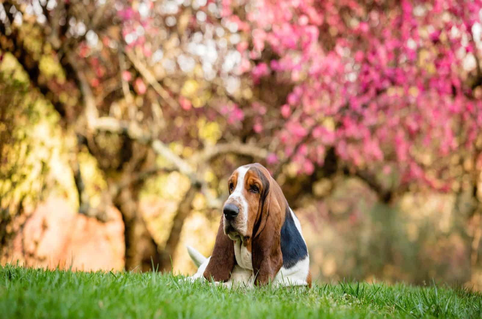 basset hound in garden