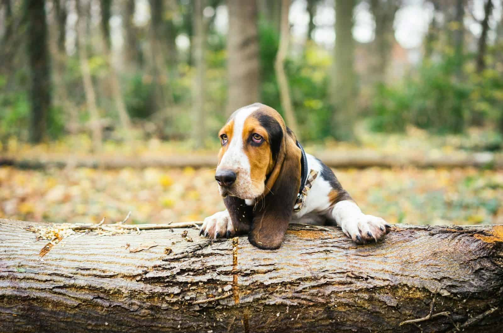 basset hound leaning on a log