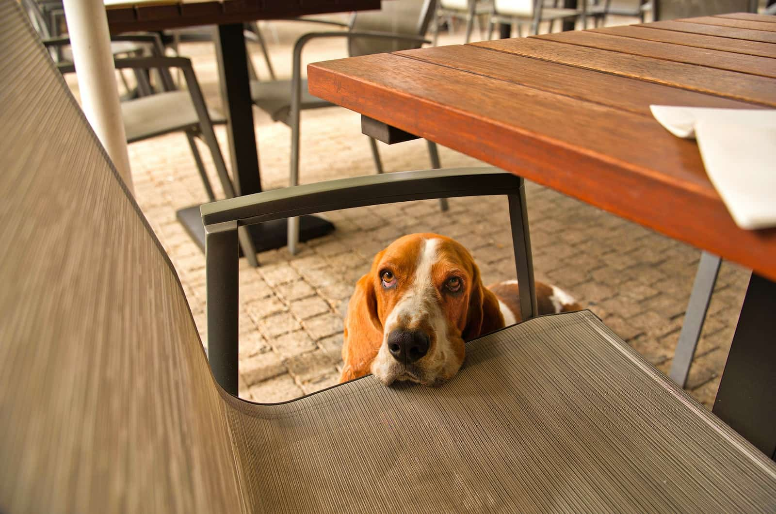 basset hound resting on a chair