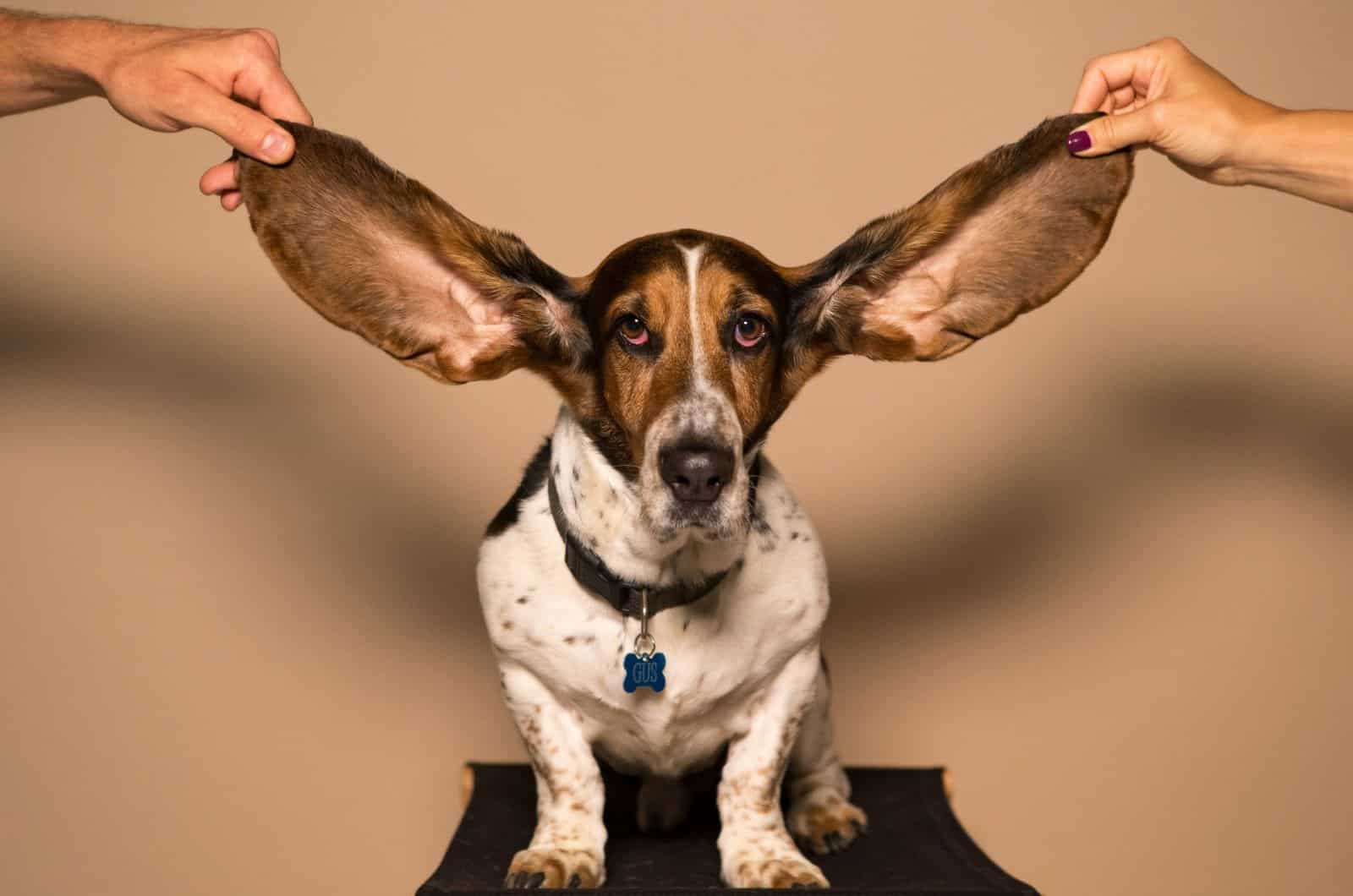 basset hound with spread ears