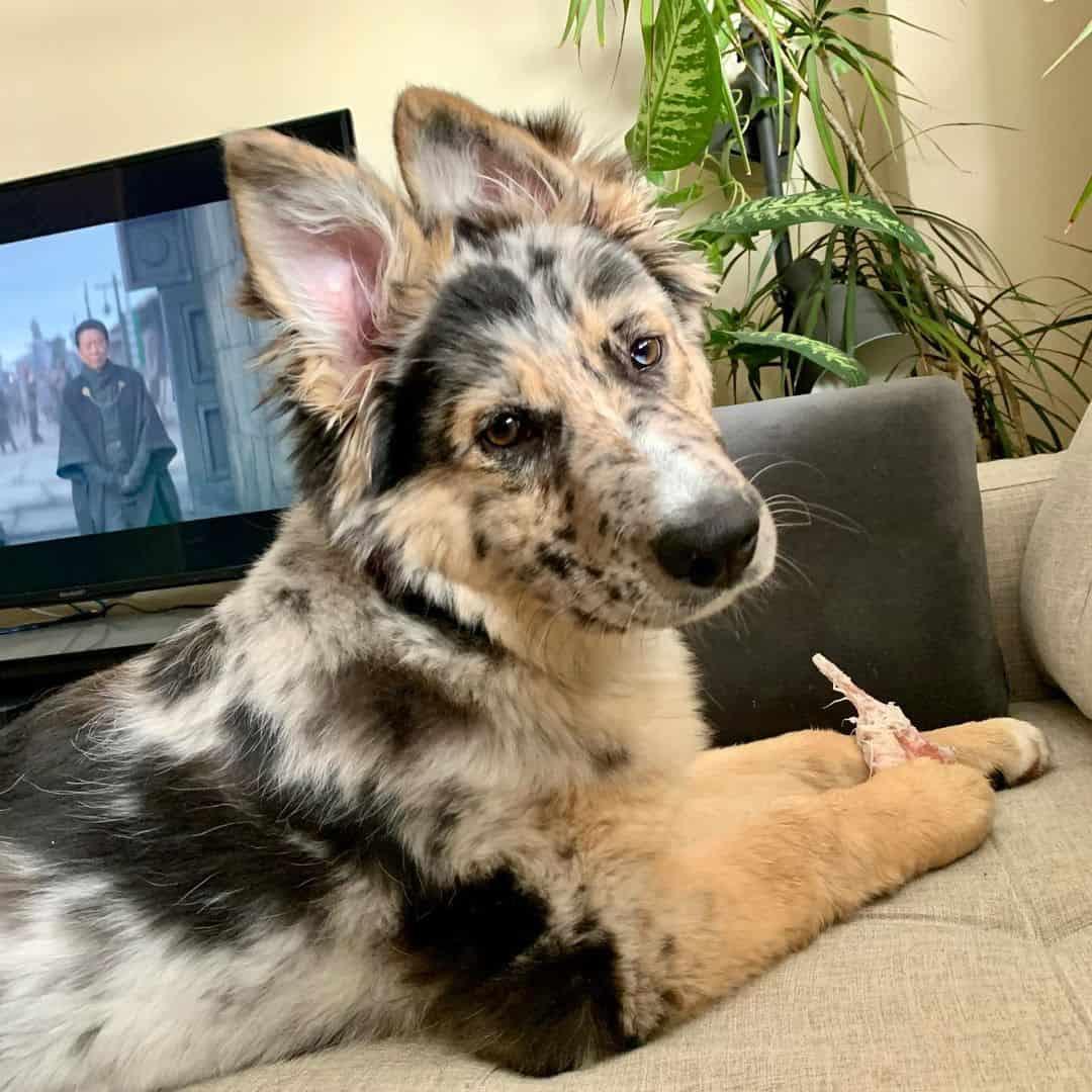 beautiful German Shepherd Border Collie mix dog