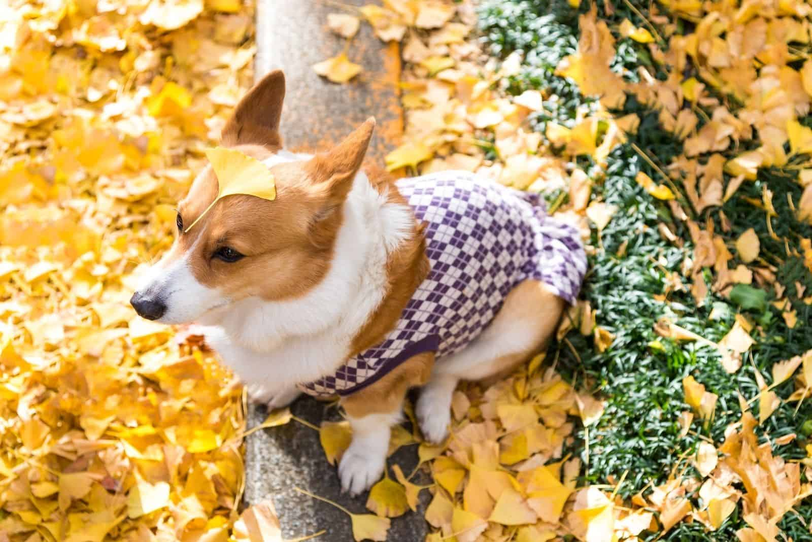 beautiful corgi dog puppy with the yellow maple leaves on his head in the early autumn atmosphere of a Golden and red maple in the Park