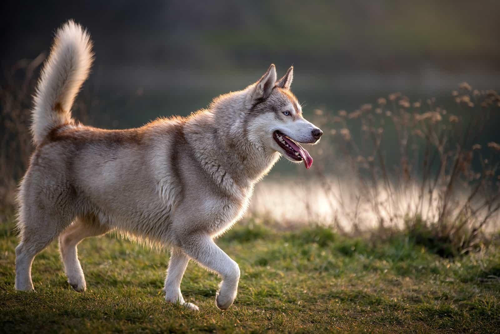 beautiful husky dog outdoor