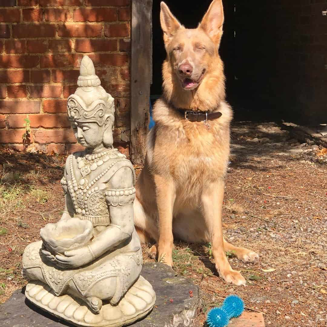 beautiful isabella gsd sitting near a statue outside a house