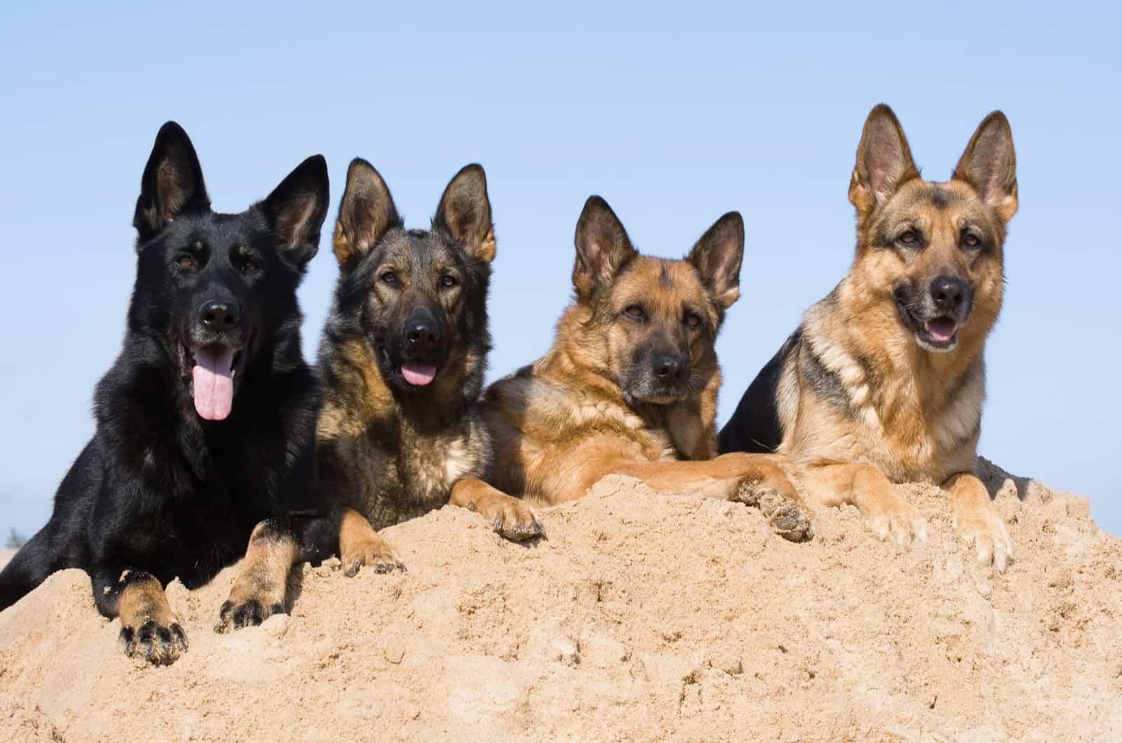 black and brown german shepherd dogs