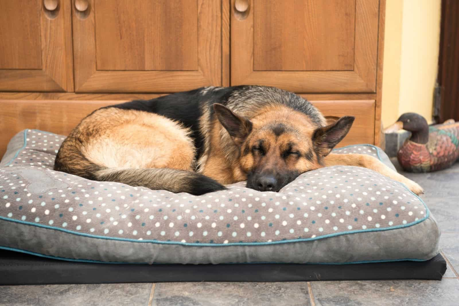 black and tan dog sleeping comfortably on a large pillow indoors