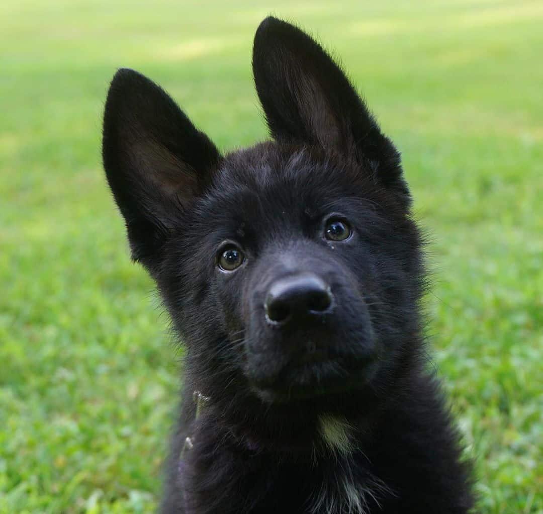 black german shepherd looking at camera