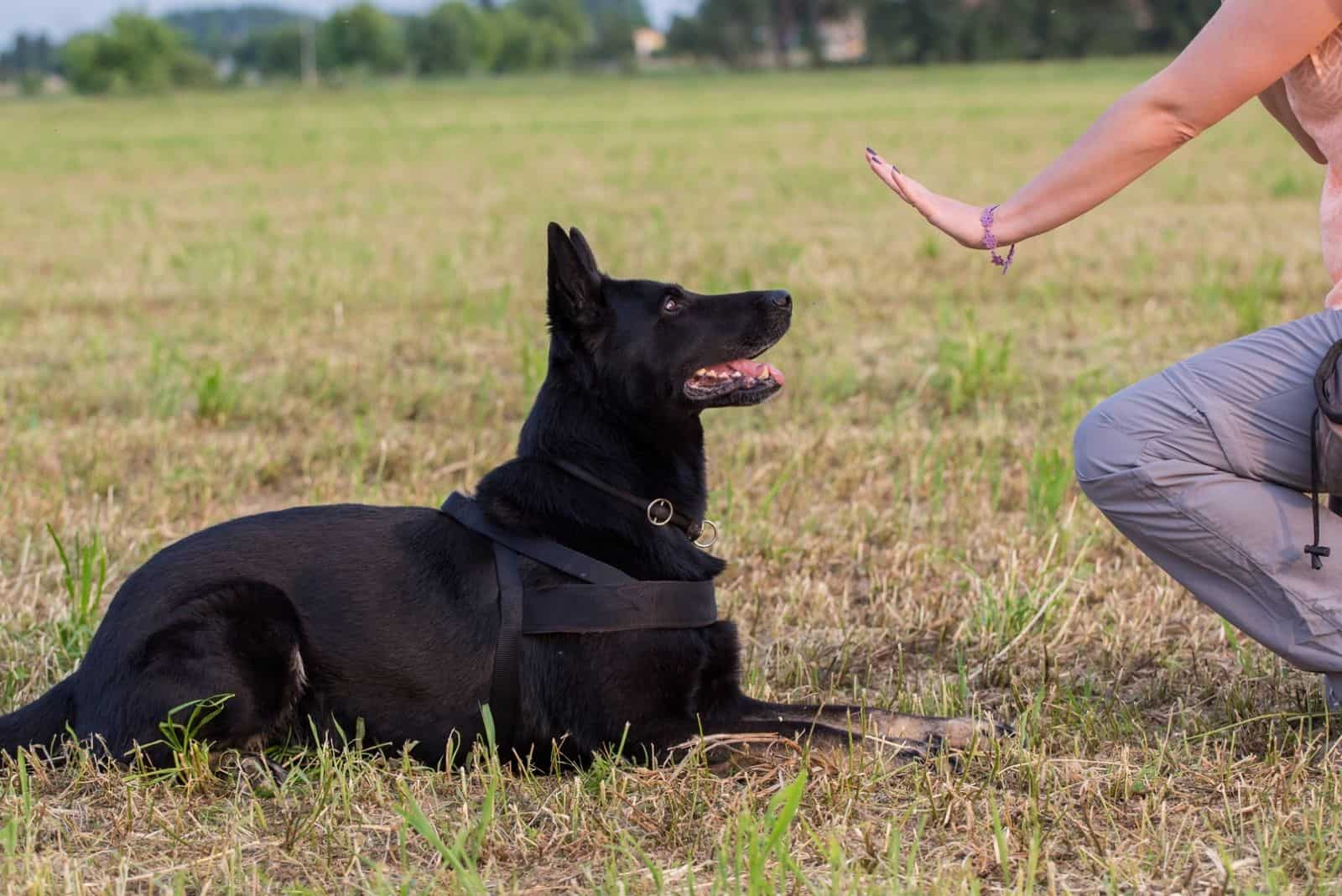 black german shepherd trained by the owner in the field