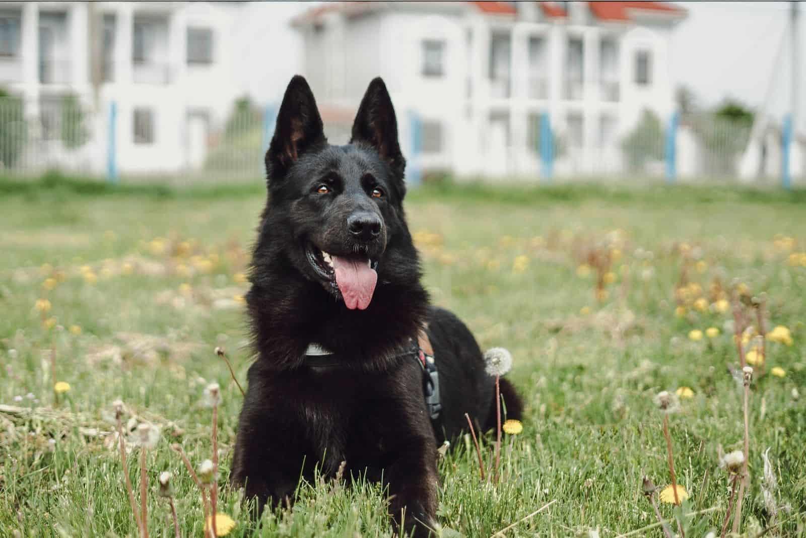 black german shepherd lying on the ground