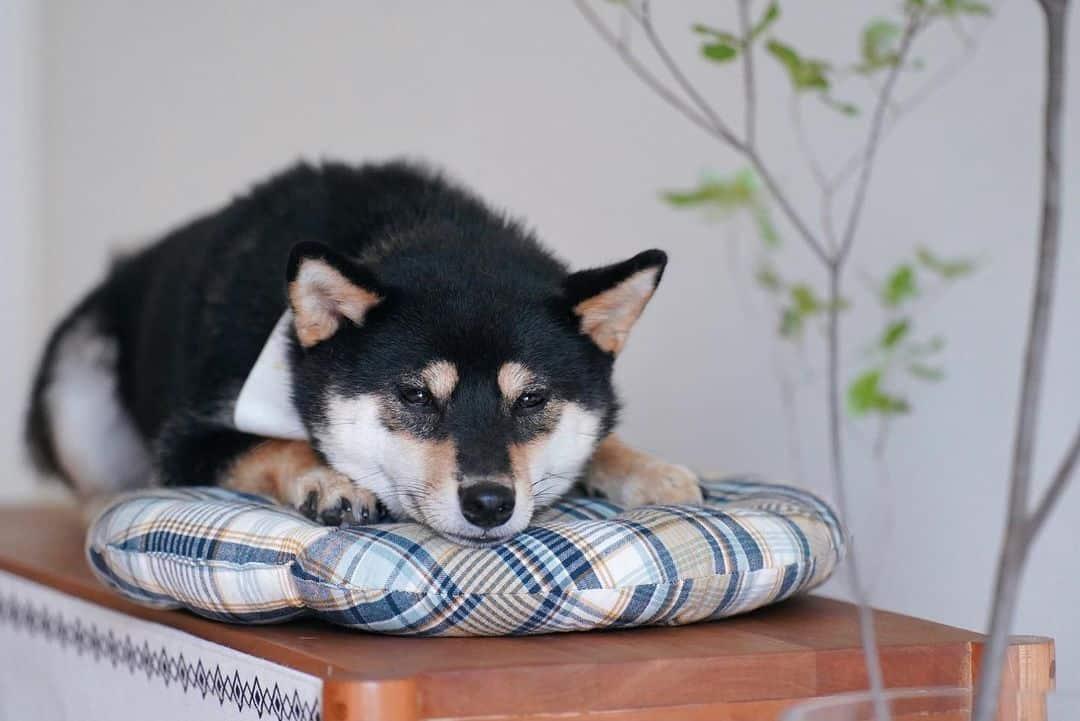 black shiba inu dog resting