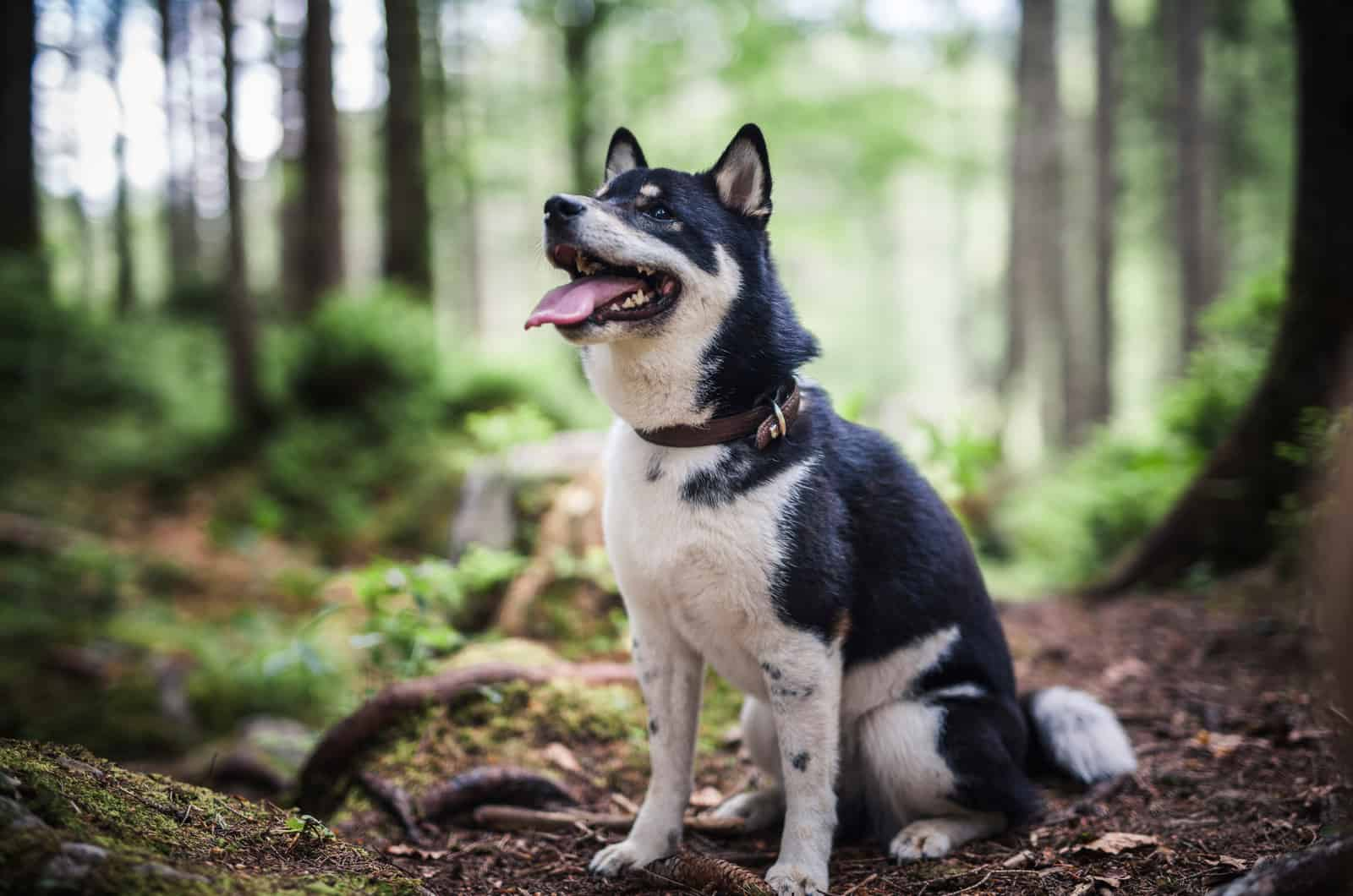 black shiba inu in the forest