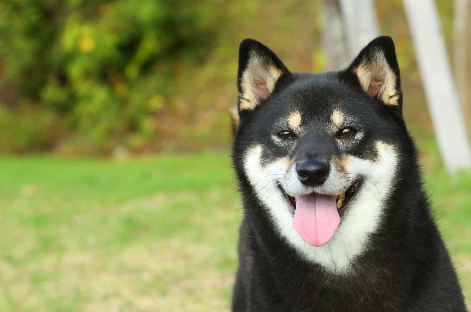 black shiba inu smiling