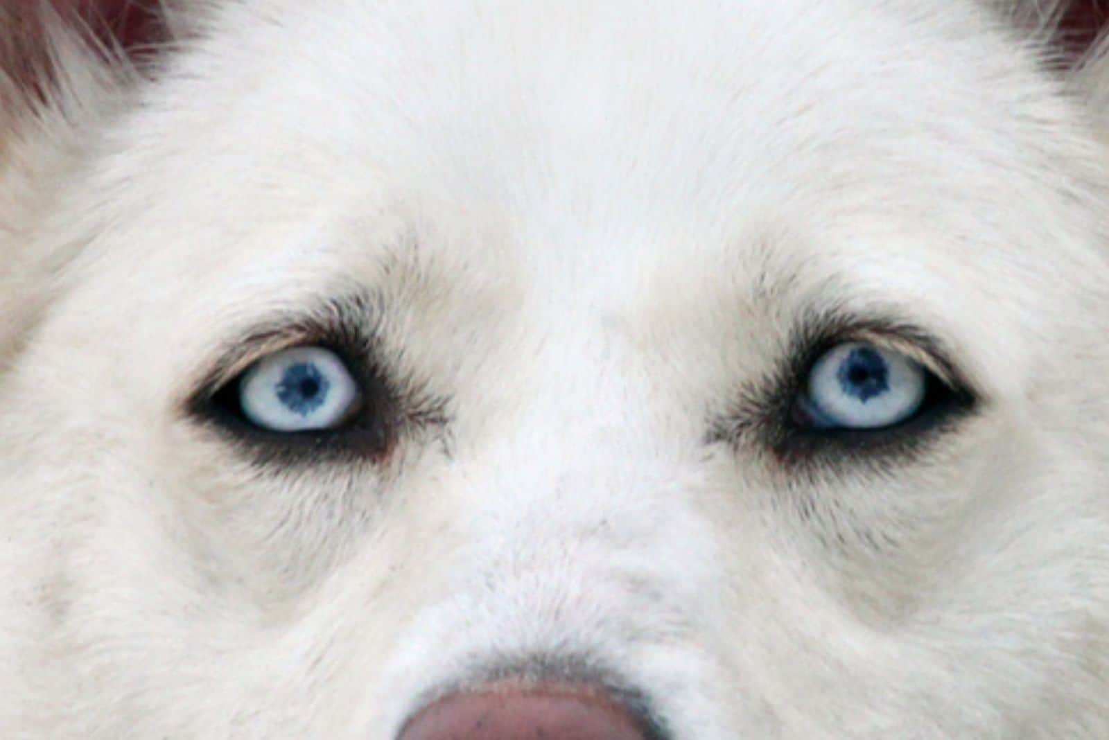 blue eyed dog in focus photography