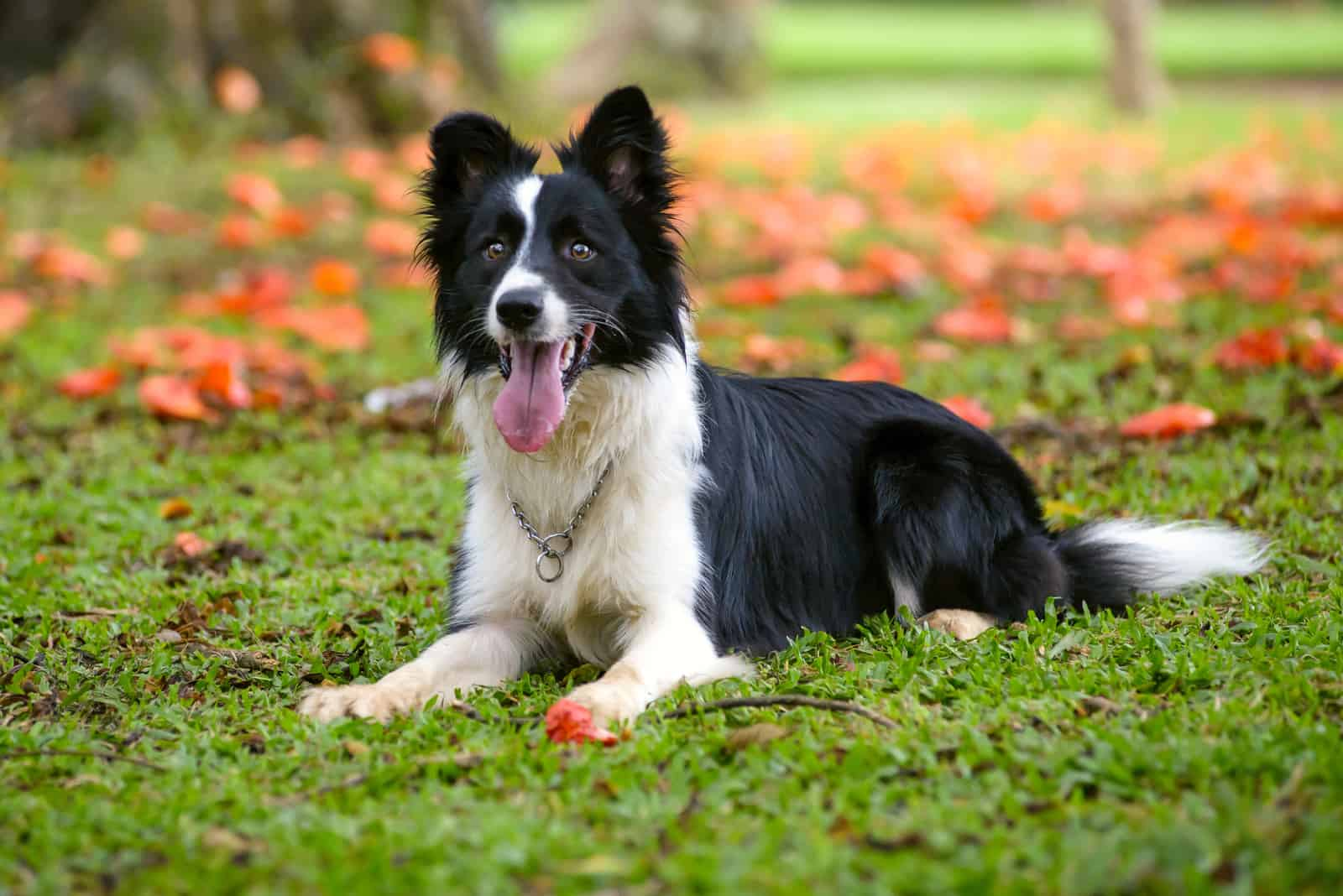 border collie dog lying down on the grass