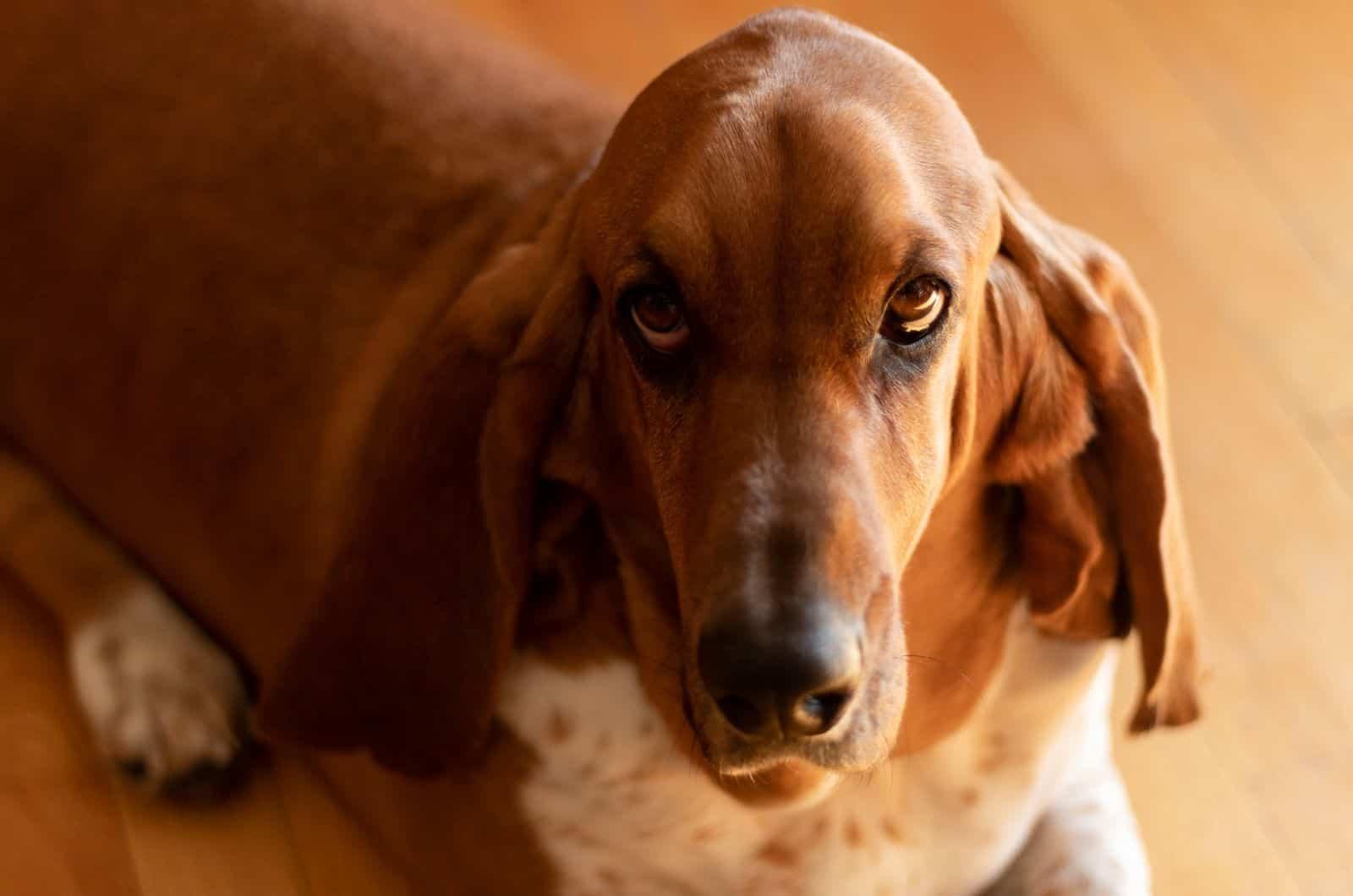 brown basset hound