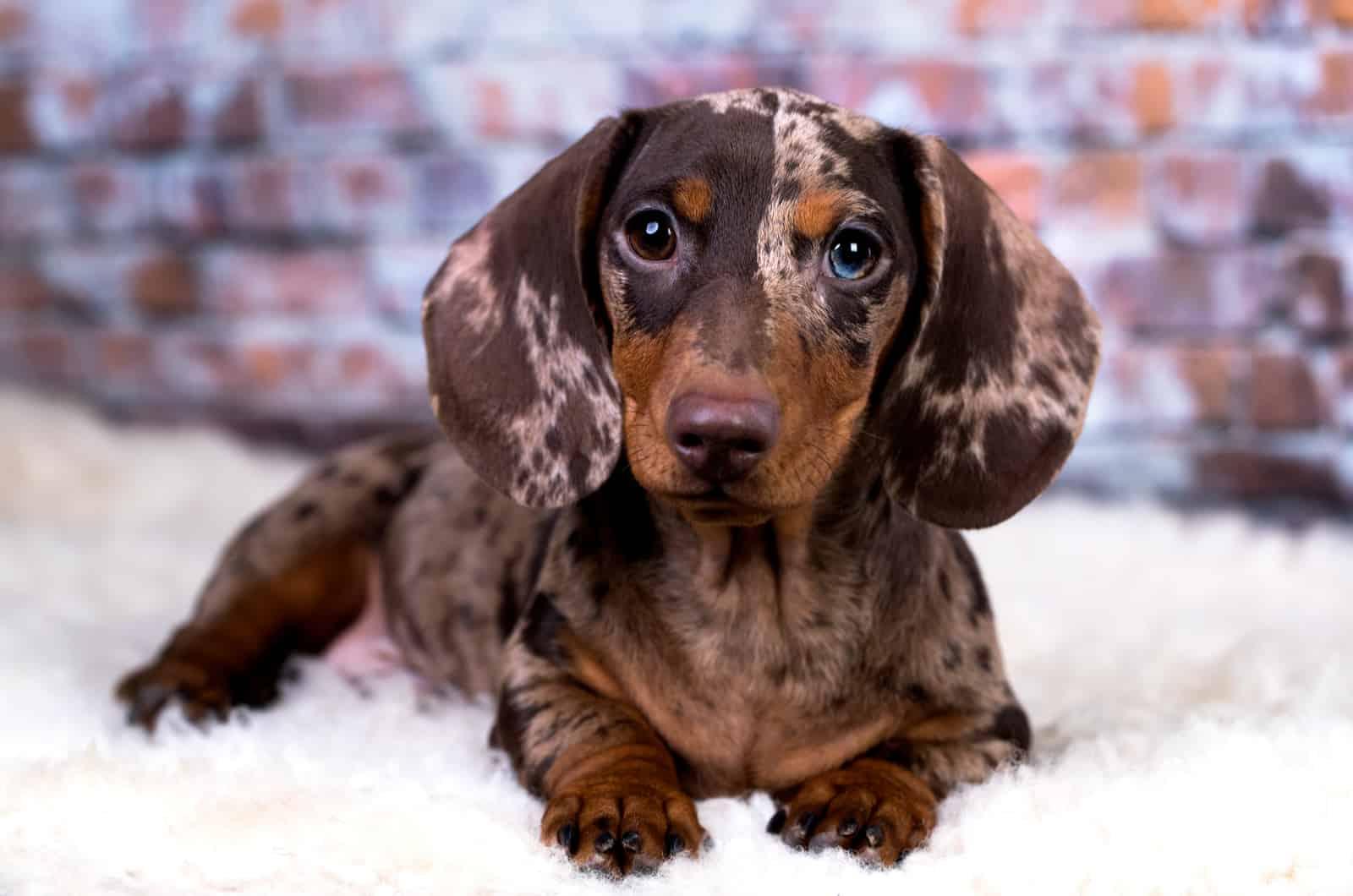 brown dapple dachshund