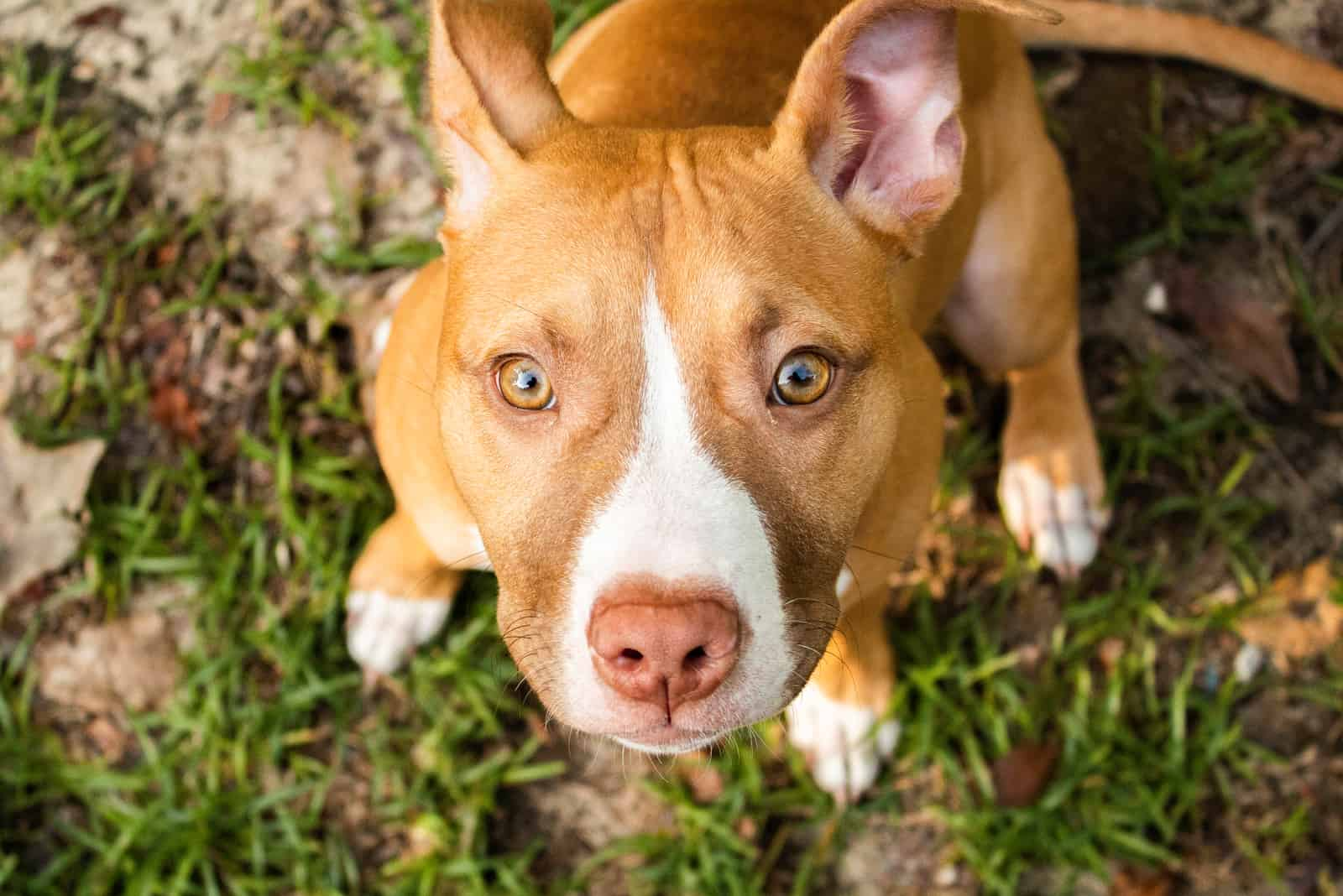 brown pitbull puppy looking up