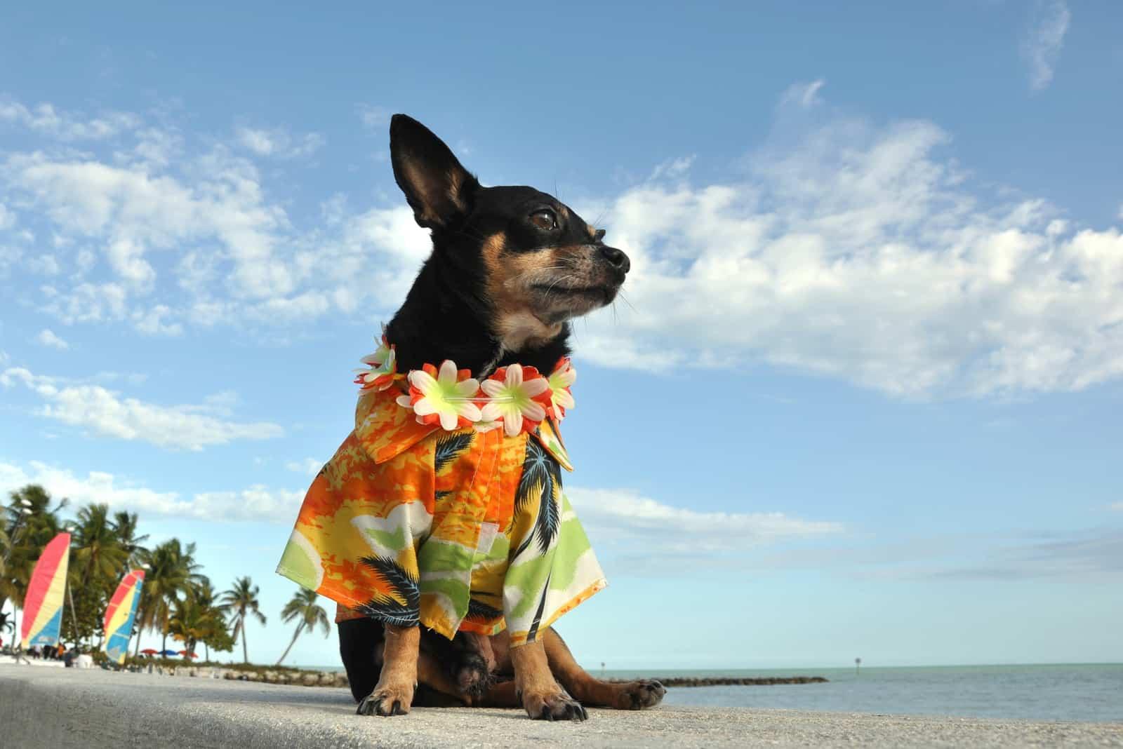 chihuahua in a hawaiian shirt