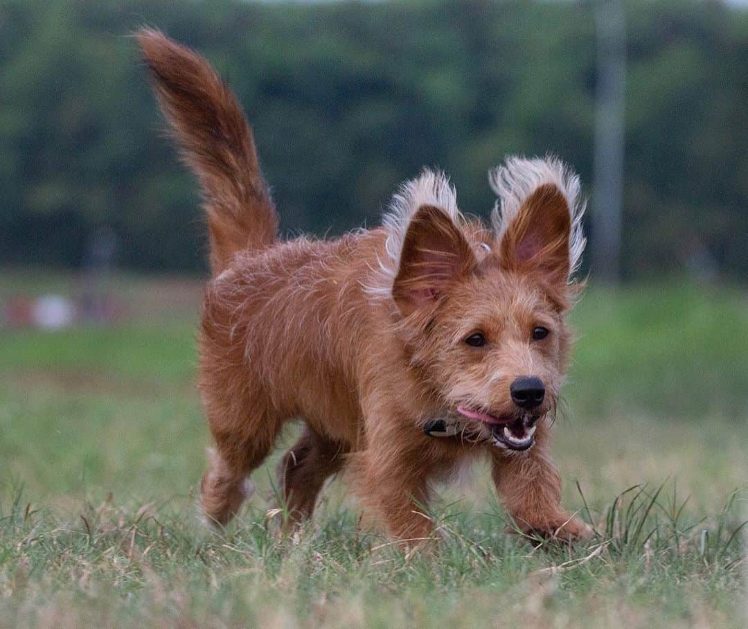 corgi -poodle mix running in the playground