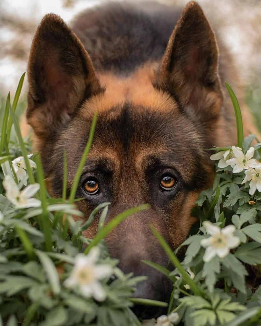 cute german shepherd lab mix dog holding head in the grass