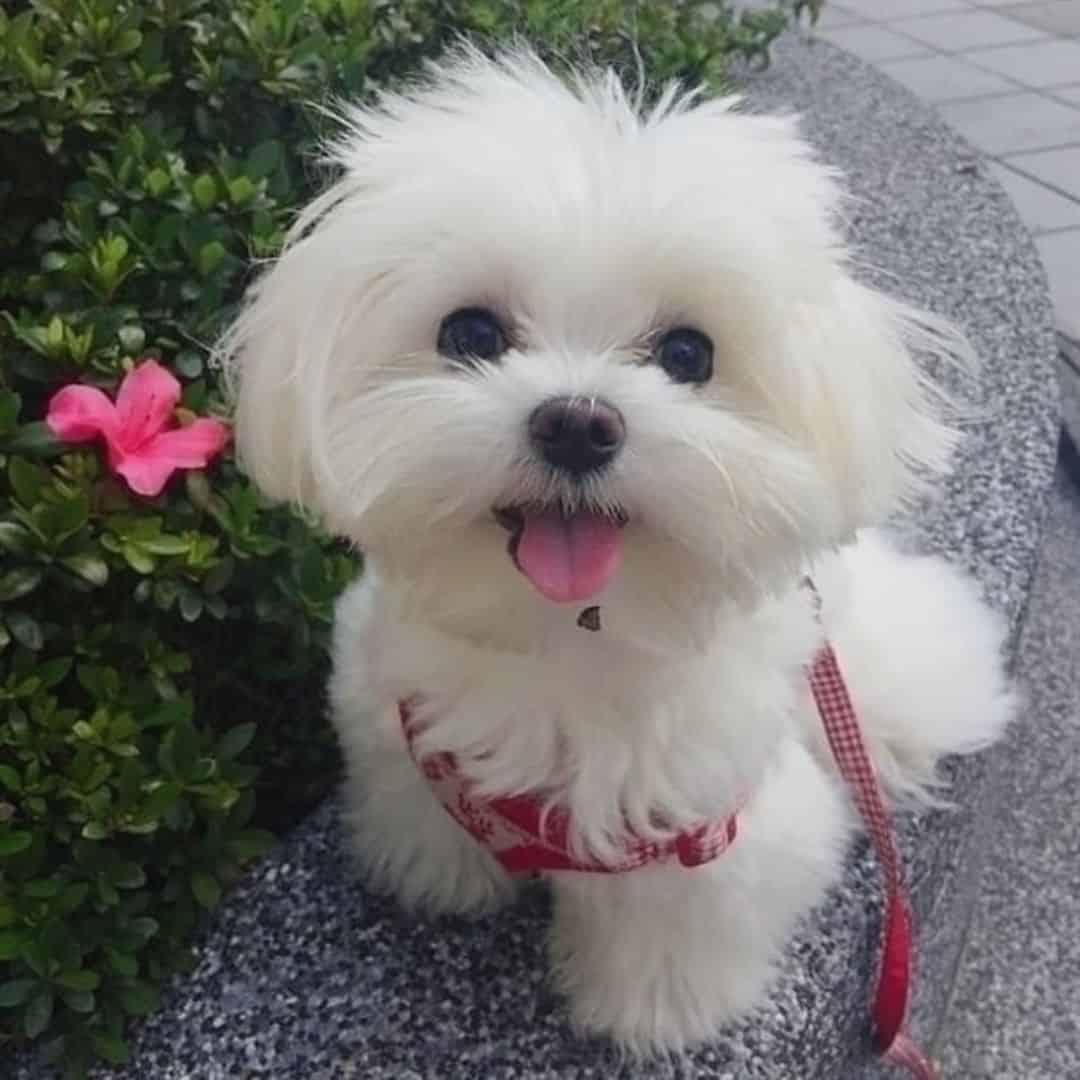 cute maltese posing for a photo