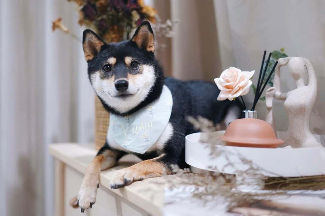 cute shiba inu puppy on a desk