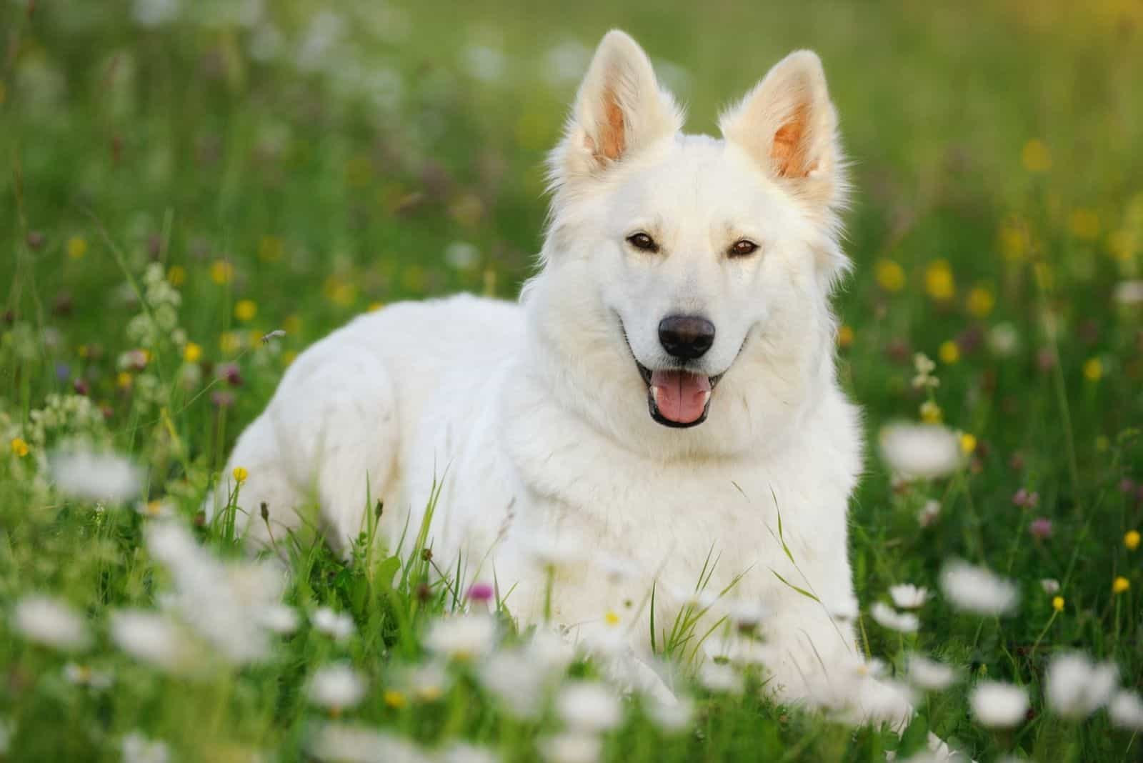 cute white german shepherd dog relaxing in the park