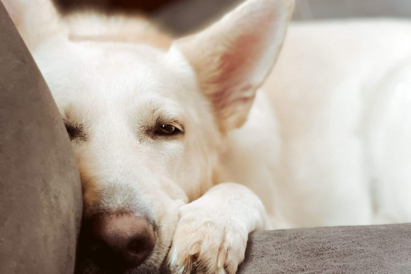 cute white puppy lying on a sofa in close up photo