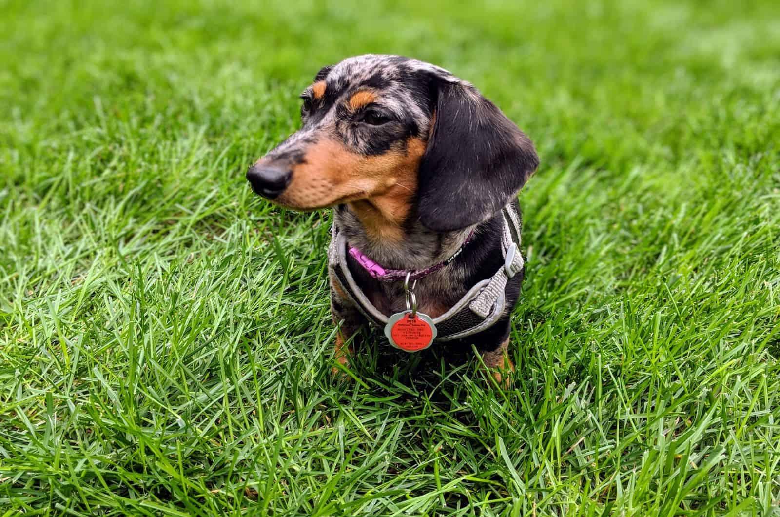 dapple dachshund in grass