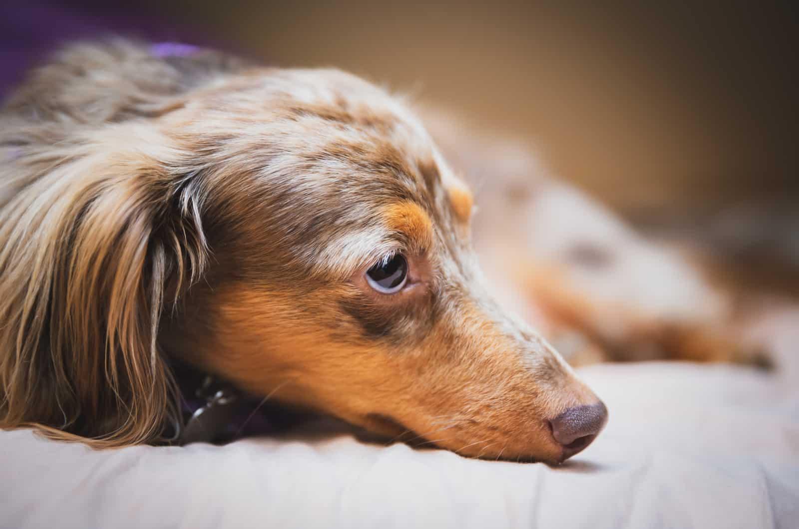dapple dachshund laying down