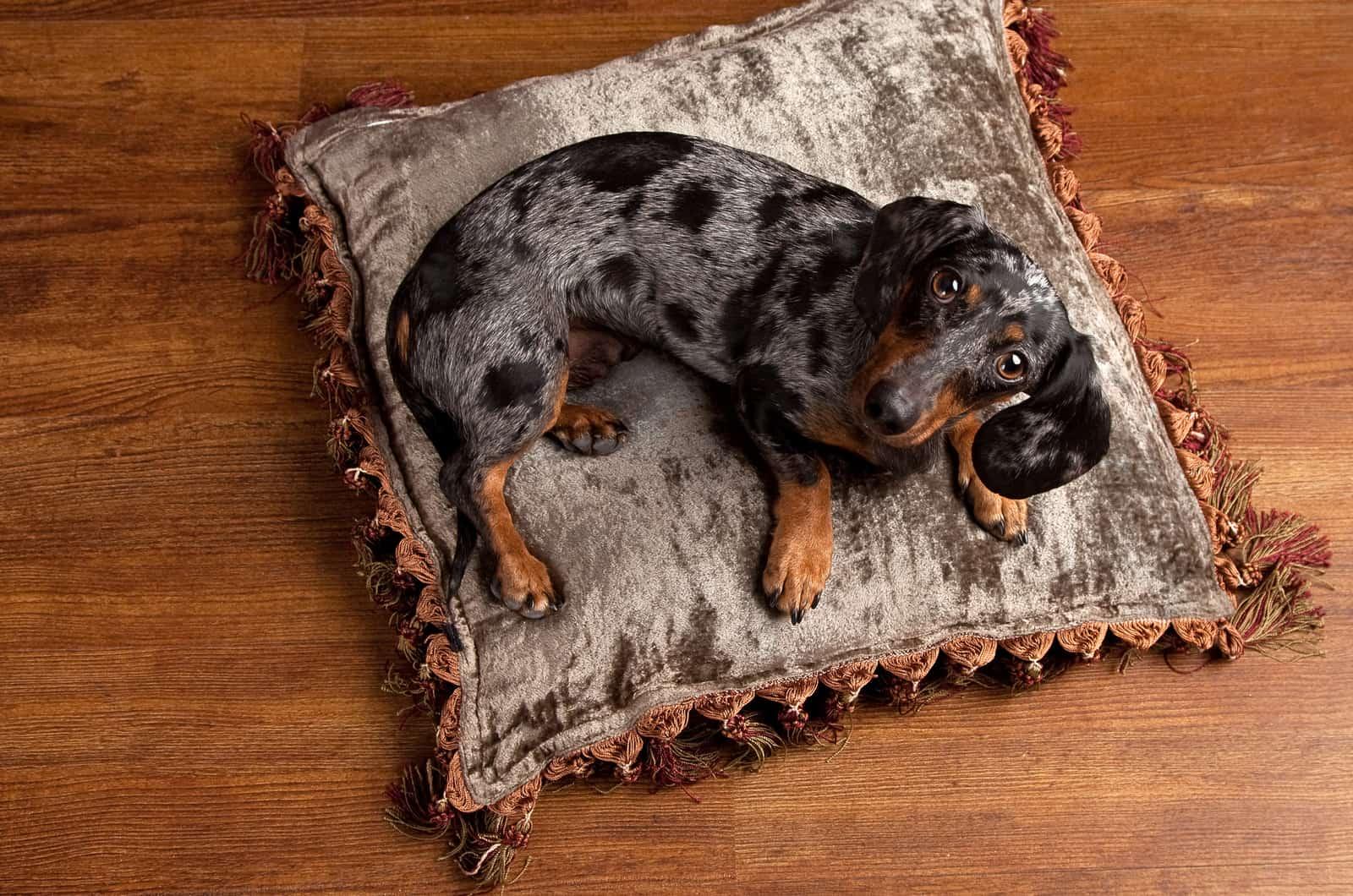 dapple dachshund on a pillow